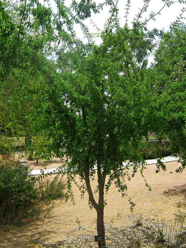 canyon-hackberry-tree
