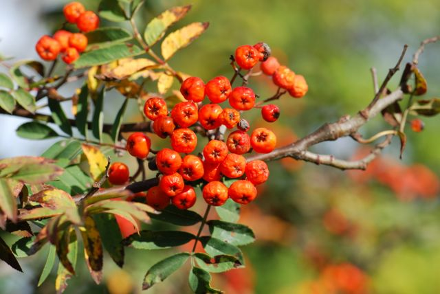 mountain-ash-berries