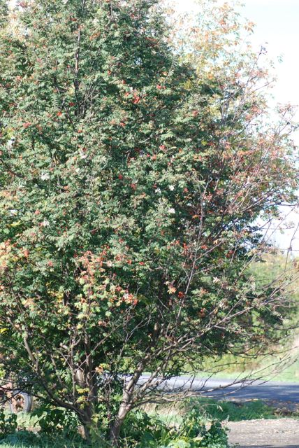 mountain-ash-tree