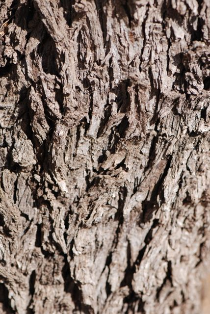 Texas-ebony-bark