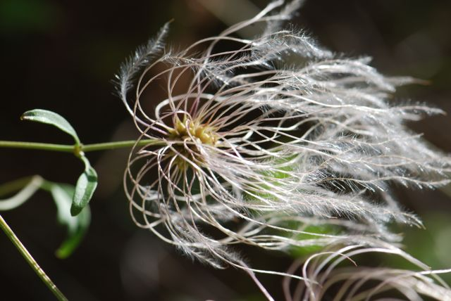 clematis-seed-pod