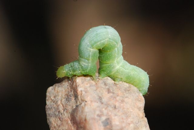 cabbage-looper-catepillar-rocks