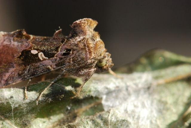 cabbage-looper-moth-with-fuzzy-top