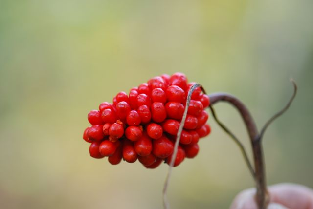 jack-in-the-pulpit-fruit