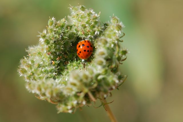 ladybug-in-queen-annes-lace-22