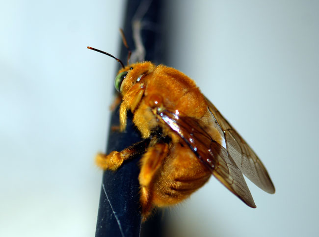 male-carpenter-bee-100