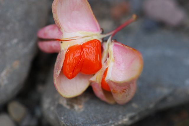 mystery-seed-226-fruit