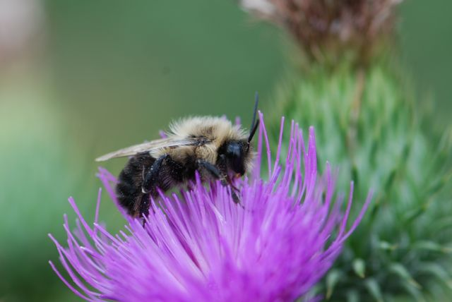 thistle-bumble-bee-123