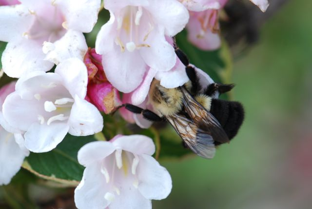 weigela-bumble-bee-6