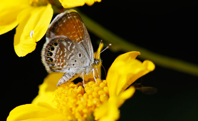 Western pygmy blue butterfly - photo#12