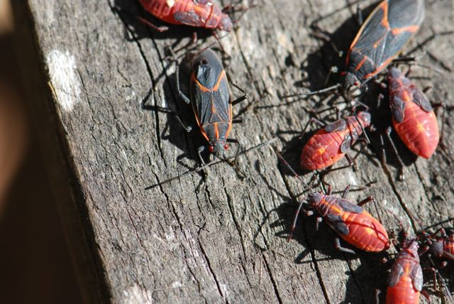 boxelder-bugs-group