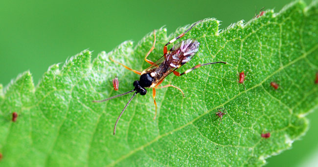 parasitoid-wasp-crop