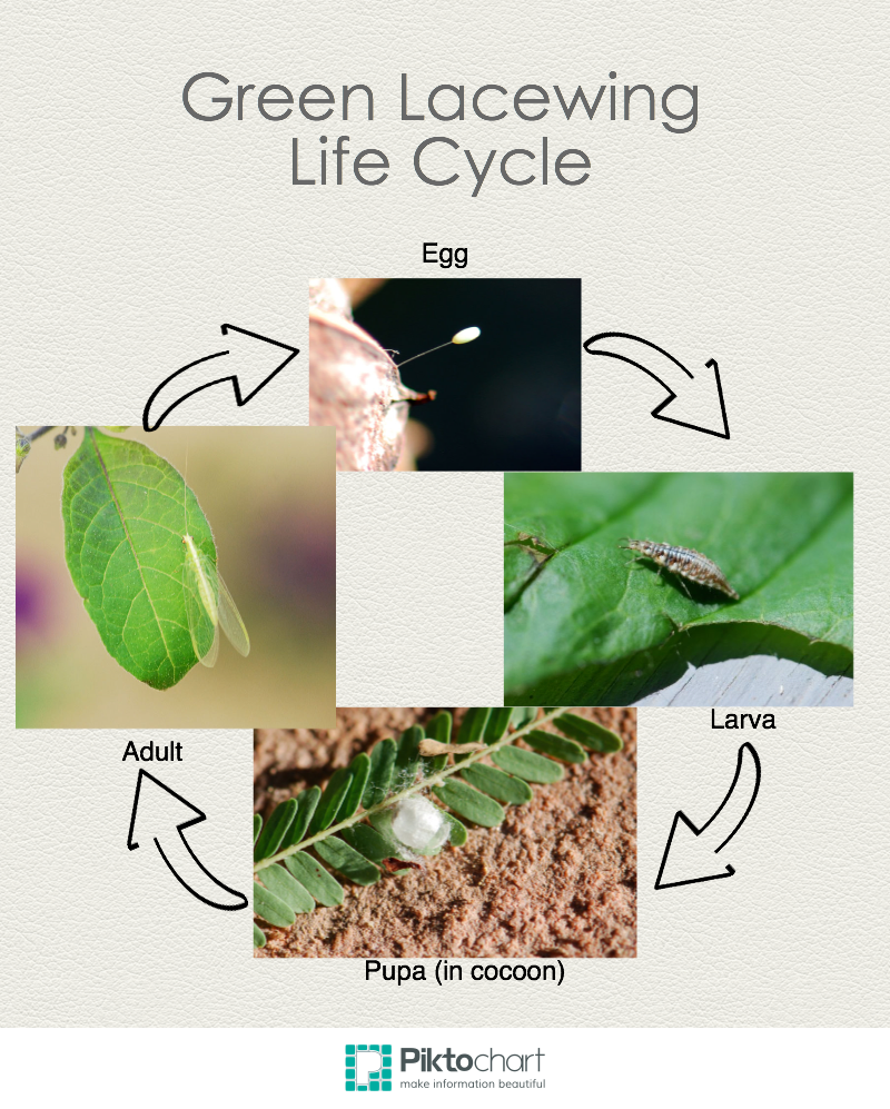 lacewing-life-cycleInfographic
