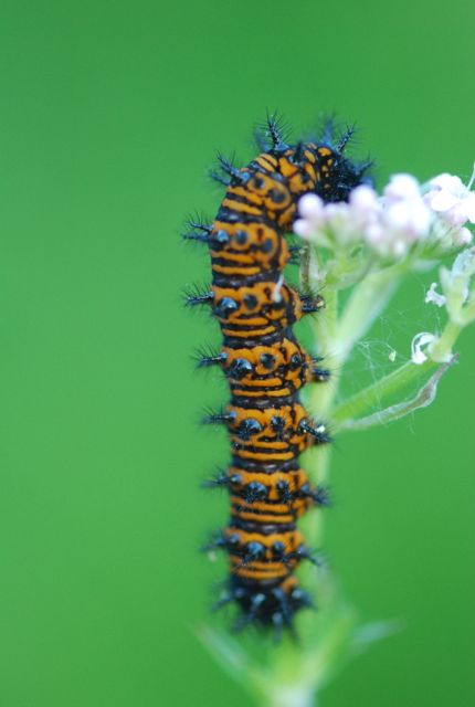 Baltimore checkerspot caterpillar 4