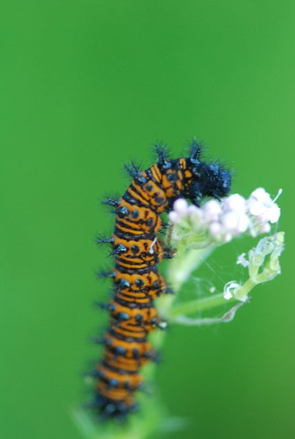 Baltimore checkerspot larva-1