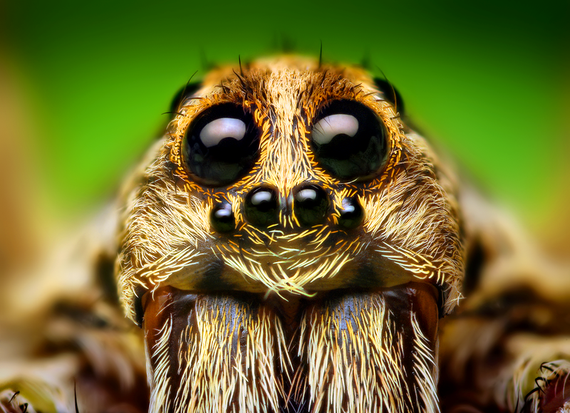 Eye_Arrangement_of_a_Wolf_Spider