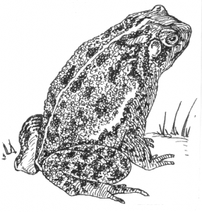 Toad_(PSF)