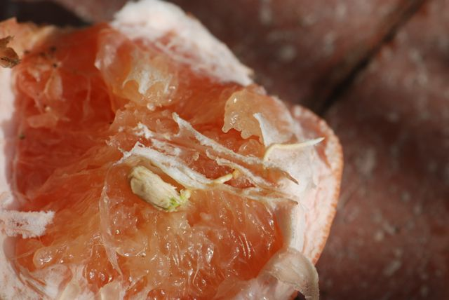 grapefruit-seed-sprouting