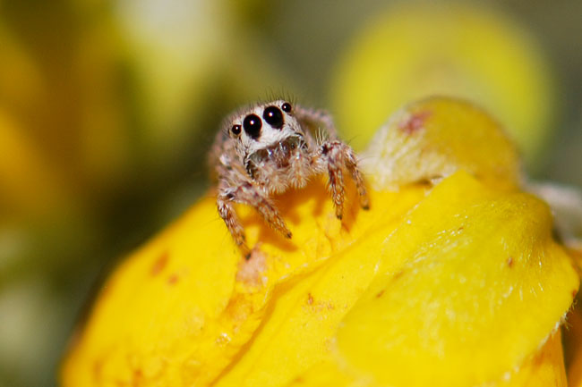 jumping-spider-face-view
