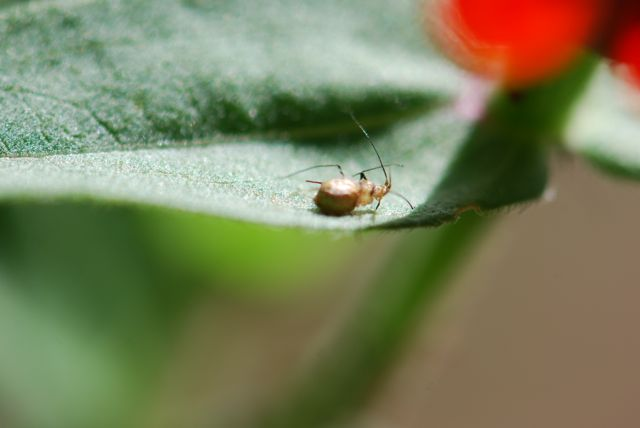 aphid-mummy-clear-on-zinnia
