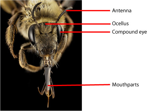 bee-labelled-head