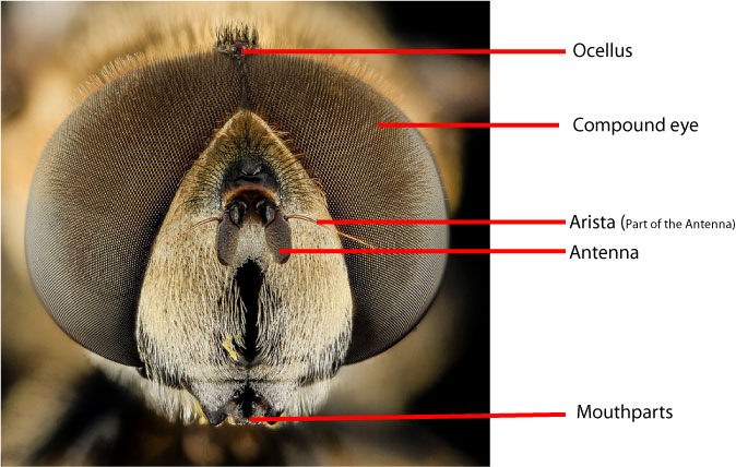 flower-fly-labelled-head