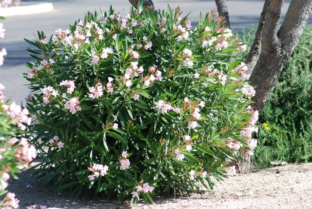 Seed of the week oleander growing with science blog oleander plant evit mightylinksfo