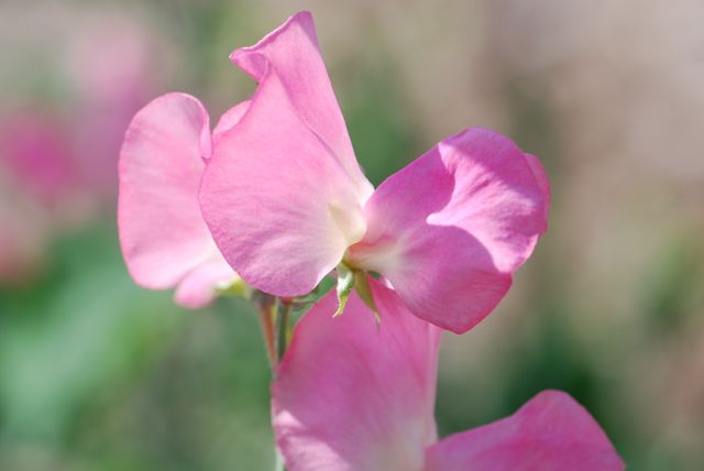 sweet pea flower close up
