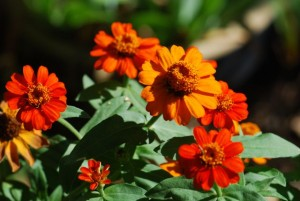 mix-of-zinnias-87