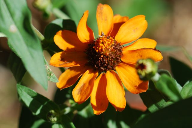 old-yellowed-zinnia-11