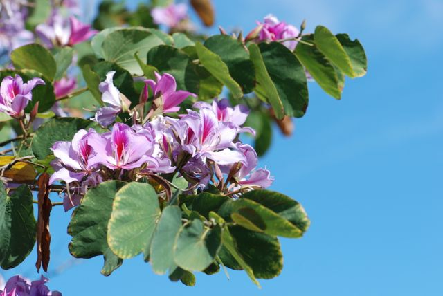 orchid-tree-branch and leaves-12
