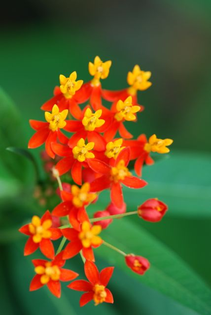 tropical-butterfly-milkweed-flowers-orange