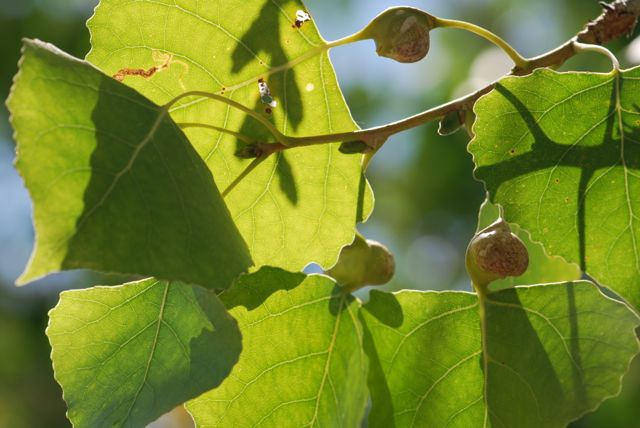 cottonwood-petiole-gall-122