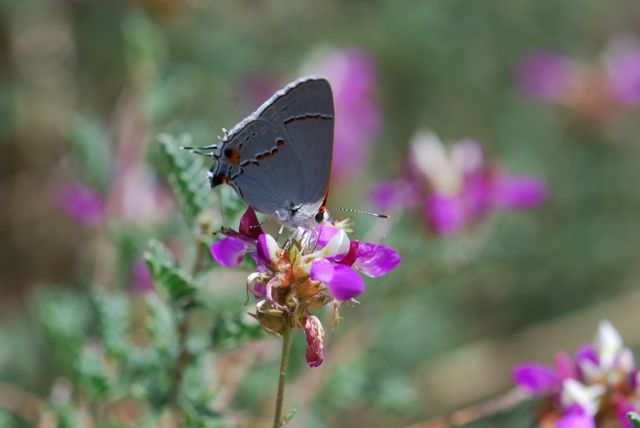 hairstreak-on-dalea-best-052