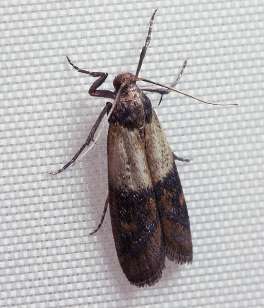 Indianmeal_moth_public-domain