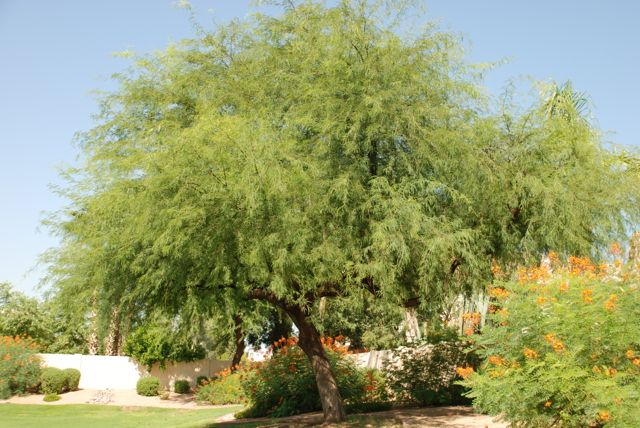 seed of the week velvet and chilean mesquite growing with science