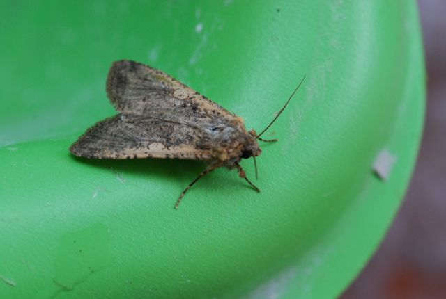 noctuid-moth-60