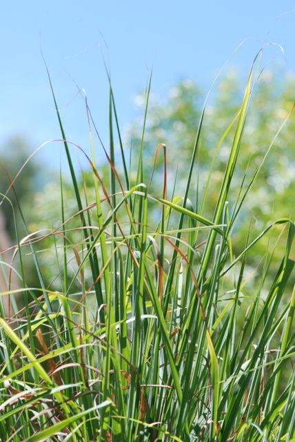 lemongrass-plant-009