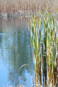 cattails-36