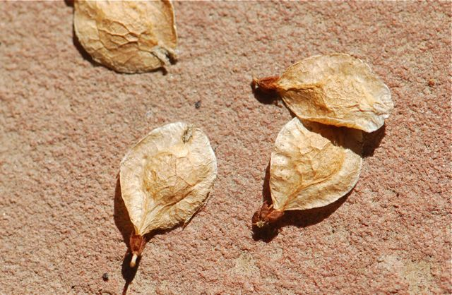 chinese-elm-seeds