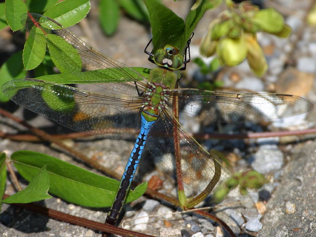 Green dragonfly pictures - photo#30