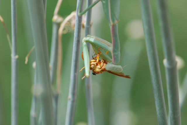 praying-mantis-wasp-fly-cool334