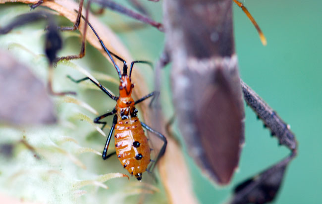 young-leaf-footed-bug-nymph282