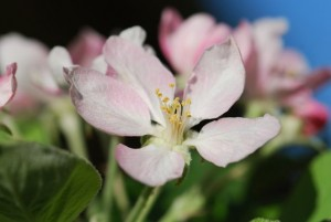 good-apple-flower