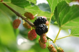 mulberry-fruit-0234