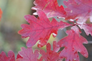 oak-leaves-166
