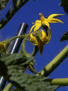 tomatoes-blossoms-flowers