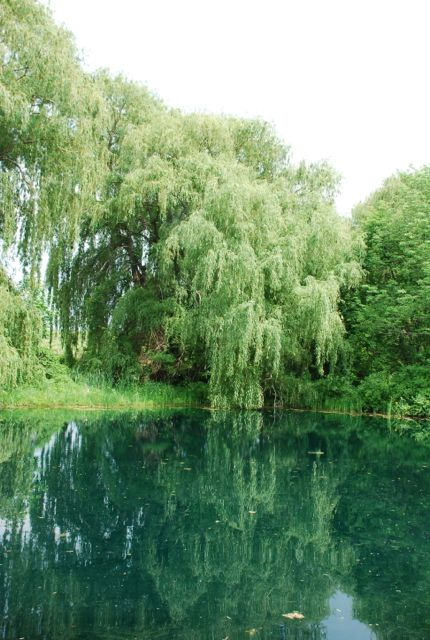 willows-398