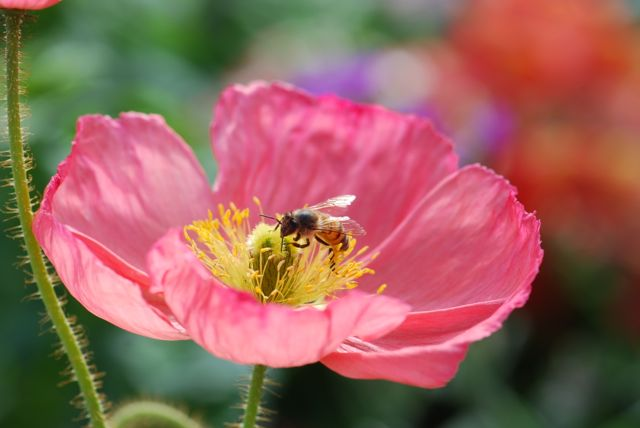 honey-bee-in-poppy-ever