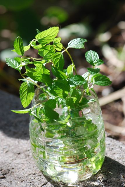 mint-sprouting-closer